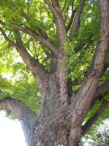 樹齢約200年のイチョウ