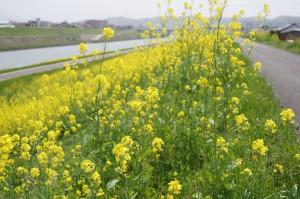 足羽川堤防の菜の花
